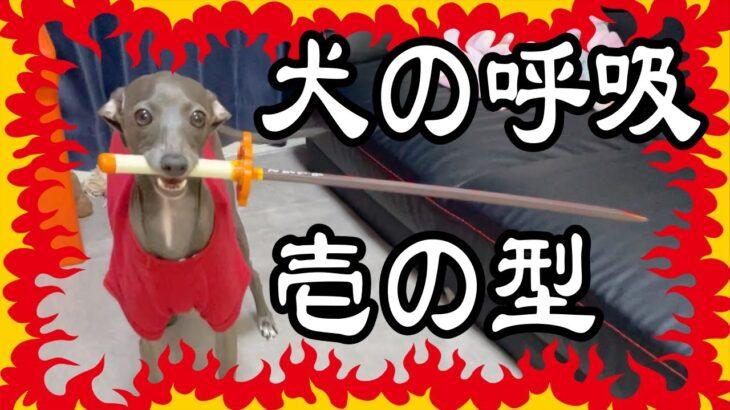 【鬼滅の刃】アニメ見て煉獄さんに影響されてしまった犬がこちらです【性格の違うボステリとイタグレの飼い方】Boston terrier & Italian greyhound